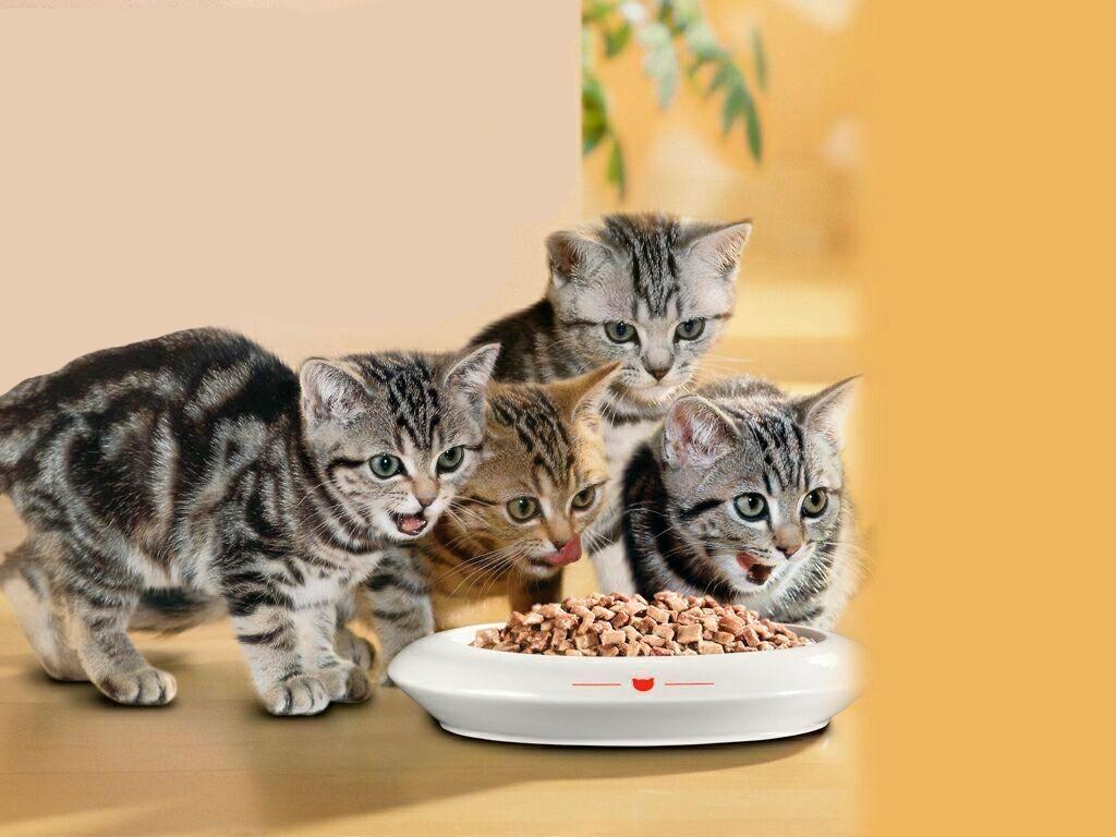 Картинки по запросу Особенности кормления кошек