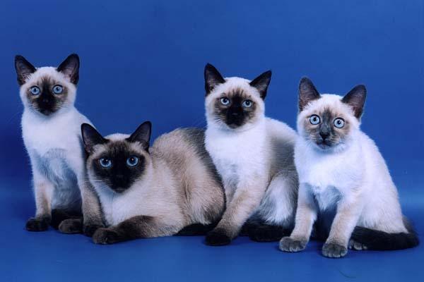 Тайская кошка: фото, цена, описание породы, характер ...