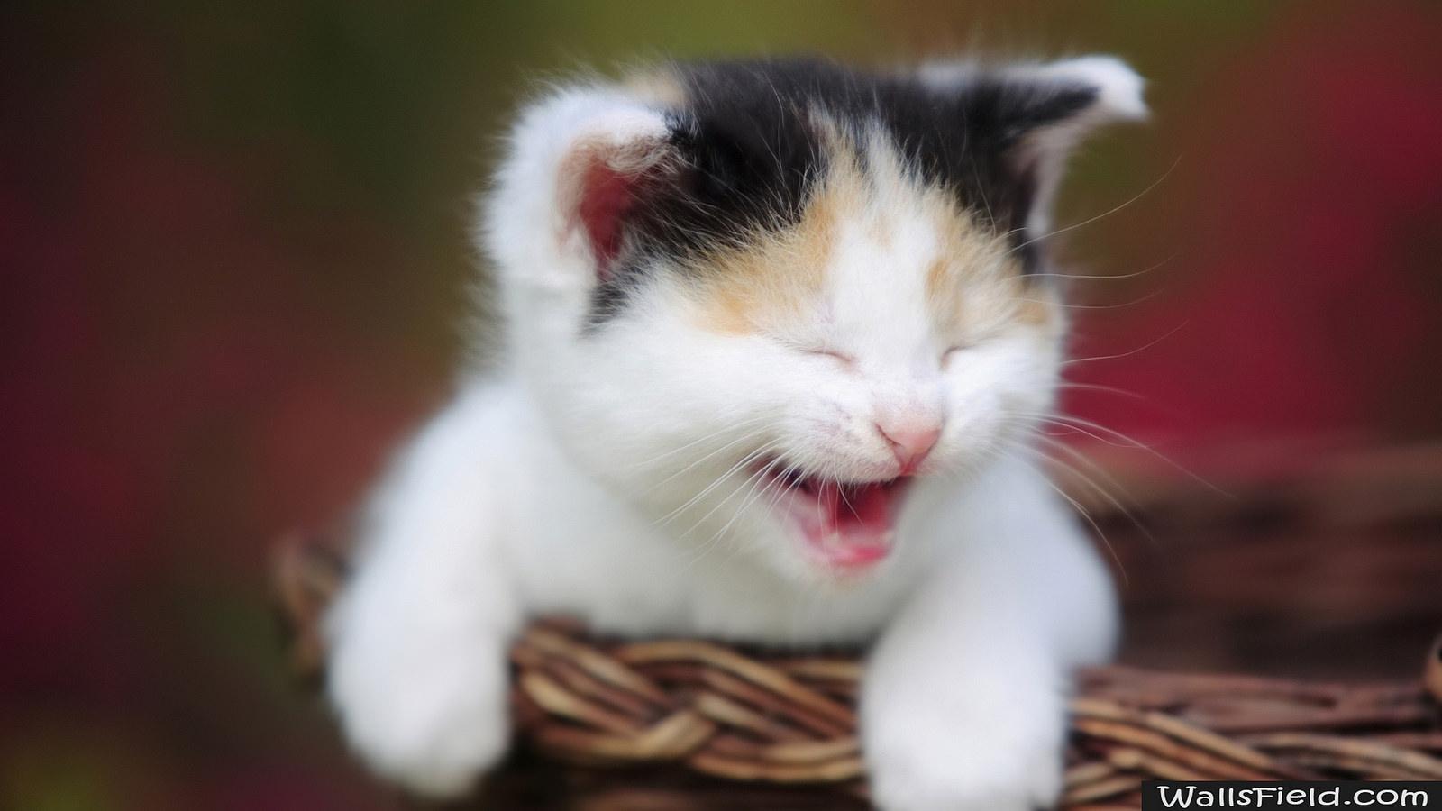Как отучить котенка мяукать без причины