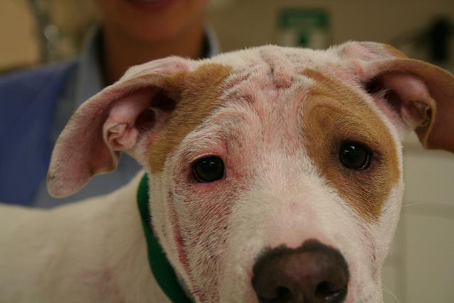 демодекоз на морде у собаки