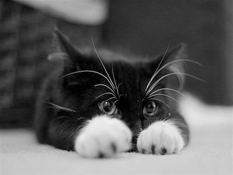 что лучше от глистов котёнку