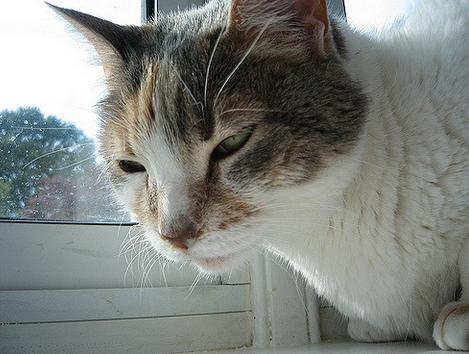 Кашель у кошки - Наши любимые кошки