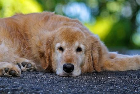 признаки ложной беременности у собак