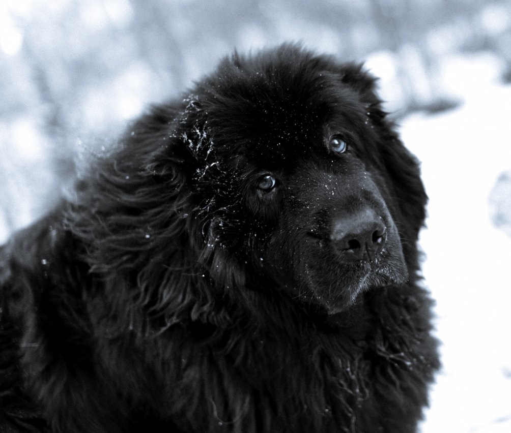 http://www.usatiki.ru/files/images/Newfoundland-Dog-In-The-Snow-Photo-1004x852.jpg